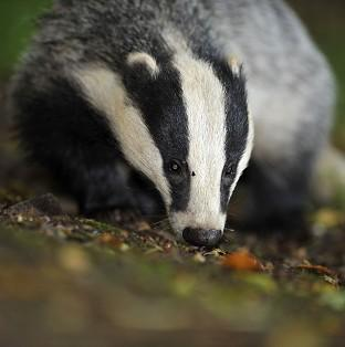 Campaigners have questioned claims that badger-culling trials were a success