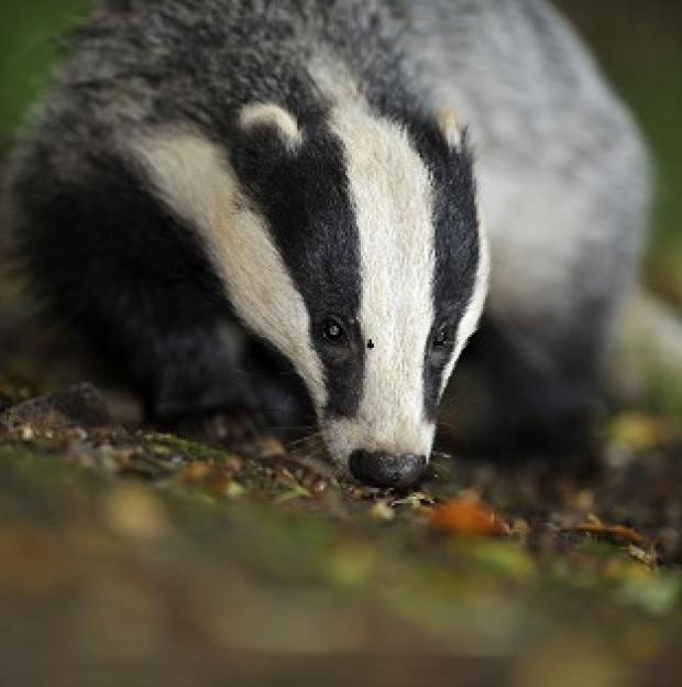Blackpool Citizen: Defra is exploring contraception for badgers as a way of keeping numbers down