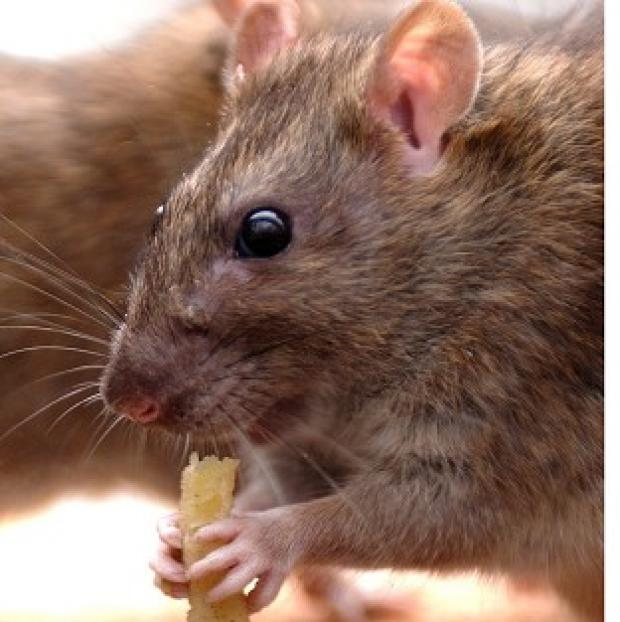 Blackpool Citizen: Vermin is one reason that residents complain to councils, research shows