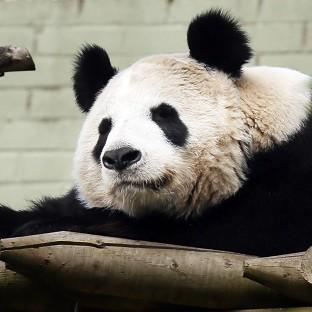 Blackpool Citizen: Experts at Edinburgh Zoo say female panda Tian Tian will soon be ready to mate