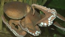 DYING FOR LOVE: the common octopus similar to the one arriving today at Blackpool Sealife Centre